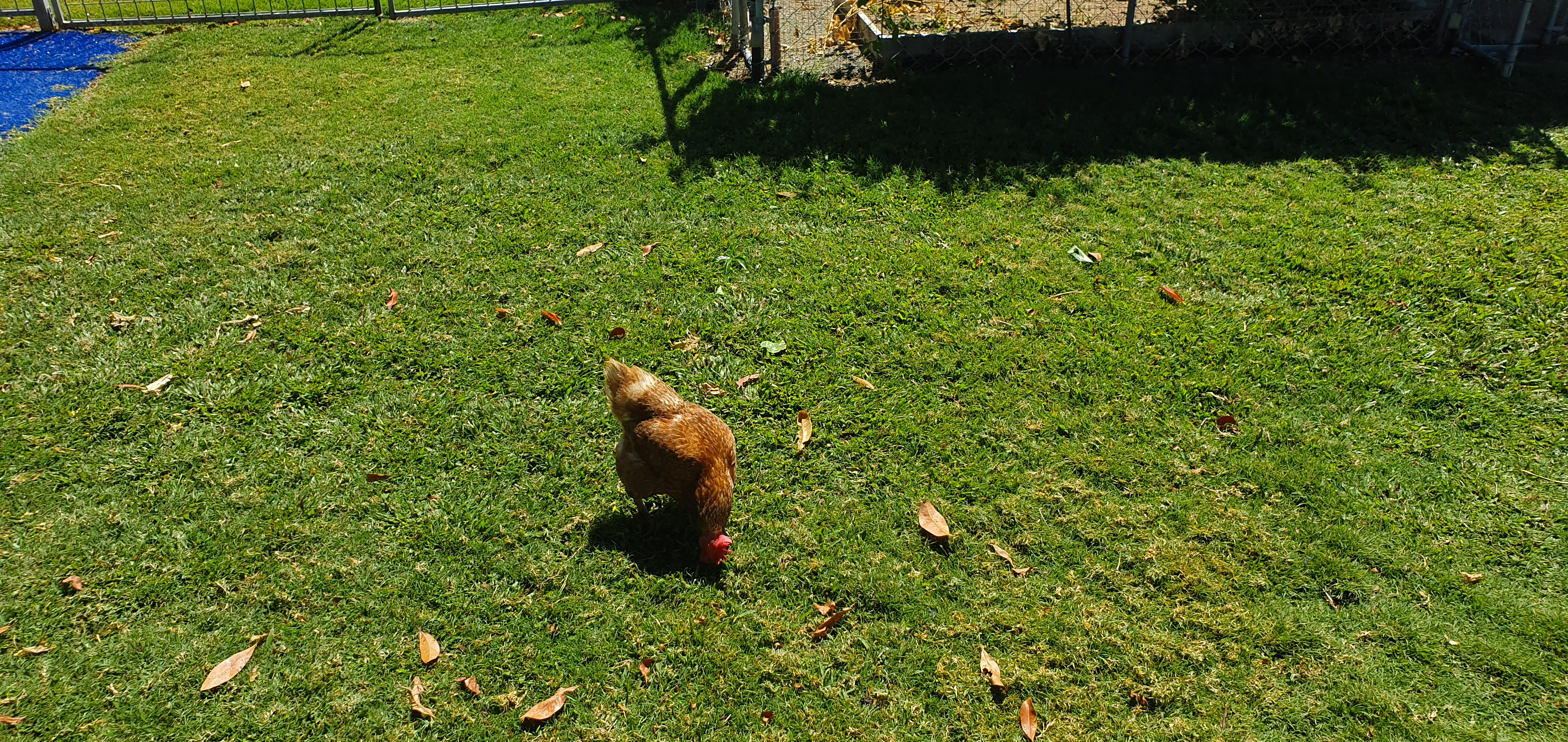 henny-penny-the-friendly-hen